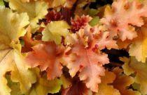 Heuchera 'Marmelade' : Godet de 9x9 cm