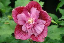 Hibiscus syriacus 'Duc De Brabant' : Taille 40/60 cm - Pot de 3 litres