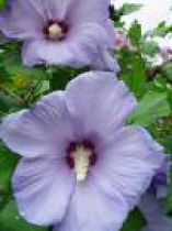 Hibiscus syriacus 'Oiseau Bleu' : Taille 40/60 cm - Pot de 3 litres