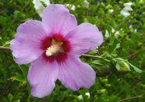 Hibiscus syriacus 'Pink Giant' : Taille 40/60 cm - Pot de 3 litres.