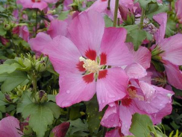 Hibiscus syriacus 'Woodbridge' : Taille 40/60 cm - Pot de 3 litres