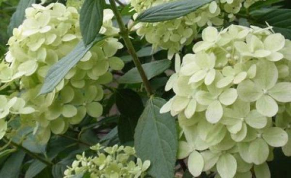 Hortensia à Panicules 'Limelight' : Taille 40/50 cm - Pot de 3 litres