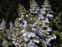 Hortensia à Panicules 'Tardiva' : Taille 40/50 cm - Pot de 3 litres