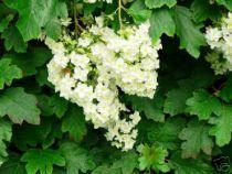 Hortensia feuilles de chêne : Taille 30 cm - Pot de 3 litres