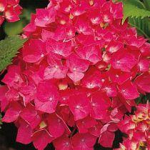 Hortensia Macrophylla ' Leutchfeuer' : Taille 30/+ cm - Pot de 2 litres
