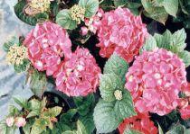 Hortensia Macrophylla 'Merveille Sanguine' :  Taille 25/30 cm - Pot de 2 litres