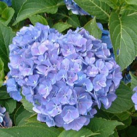 Hortensia Macrophylla 'Renate Steiniger' : Taille 25/+ cm - Pot de 2 litres