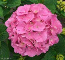 Hortensia Macrophylla 'Rosita' : Taille 25/+ cm - Pot de 2 litres