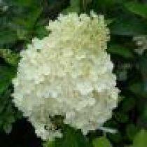 Hortensia Paniculata 'Grandiflora' : Taille 20/30 cm - Pot de 3 litres