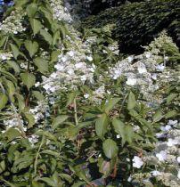 Hortensia Paniculé 'Kyushu' : Taille 40/50 cm - Pot de 3 litres