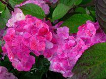 Hortensia serrata 'Preziosa' :  Taille 25/30 cm -Pot de 2,5 litres