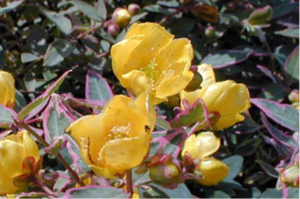 Hypericum x moserianum 'Tricolor' :  Taille 25/30 cm - Pot de 2 litres