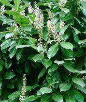 Laurier du Caucase / Laurier Palme : taille 20/30 cm - Godet 9x9 cm - lot de 20 plants
