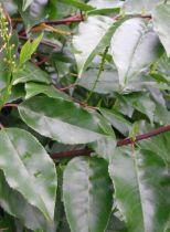 Laurier du Portugal : Taille 100/125 cm - Motte