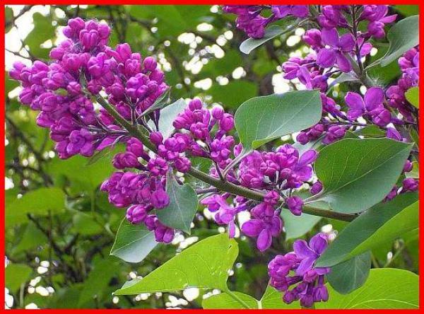 Lilas commun : Taille 40/60 cm - ramifié 2/3 branches en Racines nues