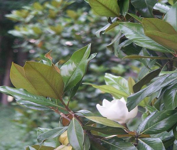 Magnolia Grandiflora 'de la Gallissonière' : Taille 50 cm - Pot de 5 litres