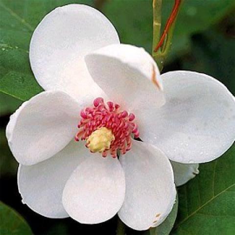Magnolia sieboldii : Taille 50/60 cm - Pot de 3 litres