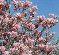Magnolia Soulangeana : Taille 40/60 cm - Pot de 3 litres