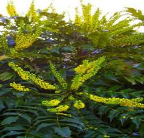 Mahonia Japonica hivernant : Taille 30/40 cm - Pot de 3 litres