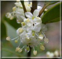 Osmanthe heterophyllus / Osmanthus heterophyllus : Taille 30/40 cm - Pot de 3 litres