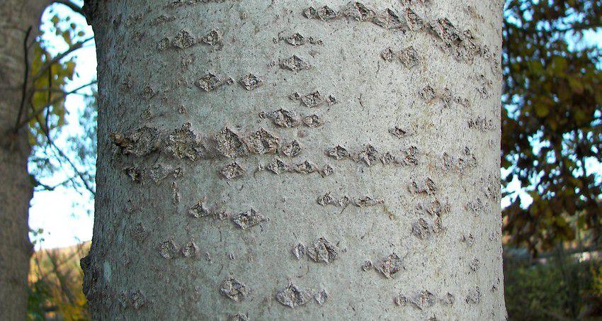 Peuplier Tremble :  Taille 60/80 cm - Lot de 10 pieds en Racines nues