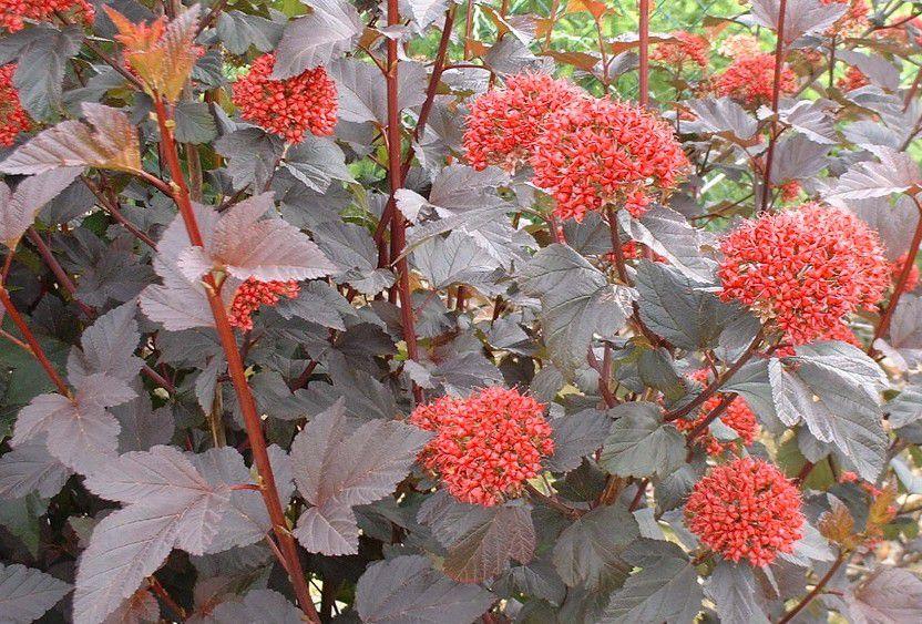 Physocarpus opulifolius 'Diabolo' :  Taille 30/40 cm - Pot de 3 litres