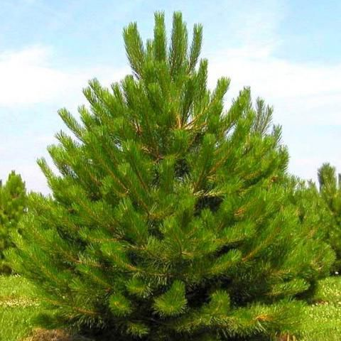 Pin noir d'Autriche : Taille 20/30 - Lot de 3 plants - Racines nues
