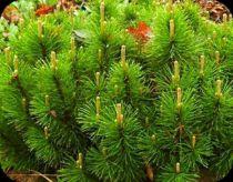 Pinus Mugo Mughus : Taille 10/15 cm - Godet de 9x9 cm
