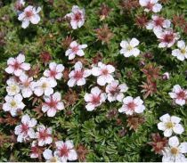 Potentille Fruticosa 'Abbotswood' : Taille 30/40 cm - Racines nues