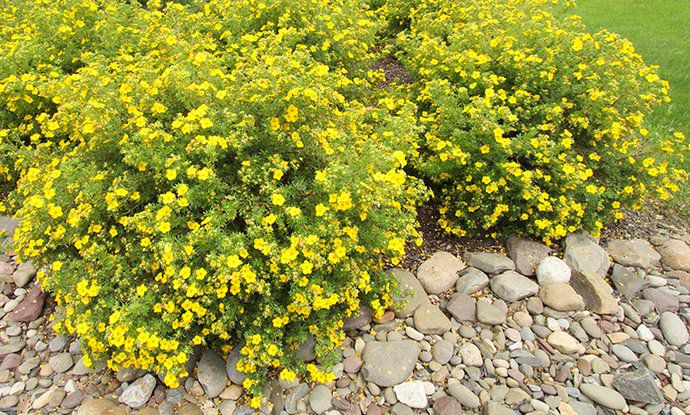 Potentille Fruticosa 'Goldfinger' : Taille 20/30 cm - Racines nues