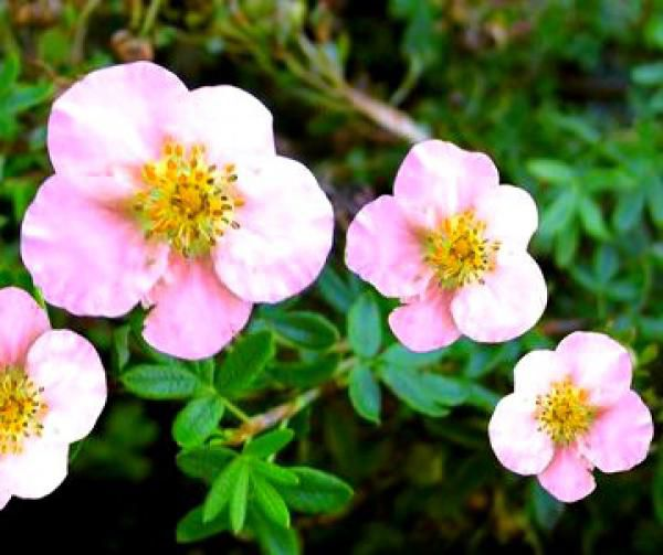 Potentille Fruticosa 'Pink Queen' : Taille 30/40 cm - Pot de 3 litres