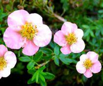 Potentille Fruticosa 'Pink Queen' : Lot de 3 plants - Taille 20/30 cm - Racines nues