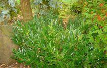 Prunus Laurocerasus Otto Luyken : Taille 15/20 cm - Godet de 9x9 cm