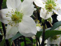 Rose de Noël : Godet de 9x9 cm