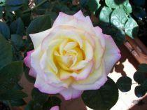 Rosier 'Mme A. Meilland' : Lot de 10 Plants - Racines nues