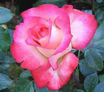 Rosier 'Queen Elisabeth' : Racines nues