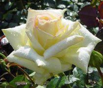 Rosier Caroline de Monaco ® : Racines nues