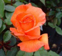 Rosier Doris Tysterman : Racines nues, 3 branches et +