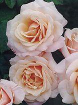 Rosier Paul Ricard ® : Racines nues
