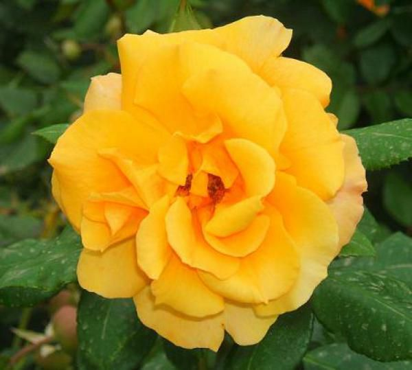 Rosier polyantha 'All gold' : Lot de 10 pieds - Racines nues