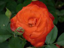 Rosier polyantha 'Diablotin' : Racines nues