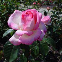 Rosier Princesse de Monaco ®  : Racines nues