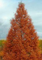 Sequoia de Chine  : Taille 80/100 cm - Pot de 3 litres