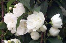 Seringat 'Bouquet blanc' : Taille 50/60 cm - Pot de 3 litres