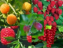 Special gourmand - Assortiment de 15 petits fruitiers : Taille 60/90 cm - Racines nues