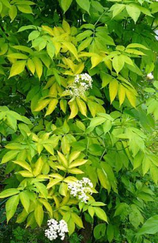 Sureau noir - Sambucus nigra'Aurea' : Taille 30/40 cm - Pot de 3 litres