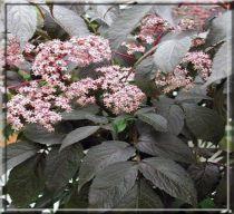 Sureau noir - Sambucus nigra 'Black Beauty' : Taille 30/40 cm - Pot de 3 litres