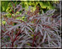 Sureau noir - Sambucus nigra 'Black Lace' : Taille 30/40 cm - Pot de 3 litres