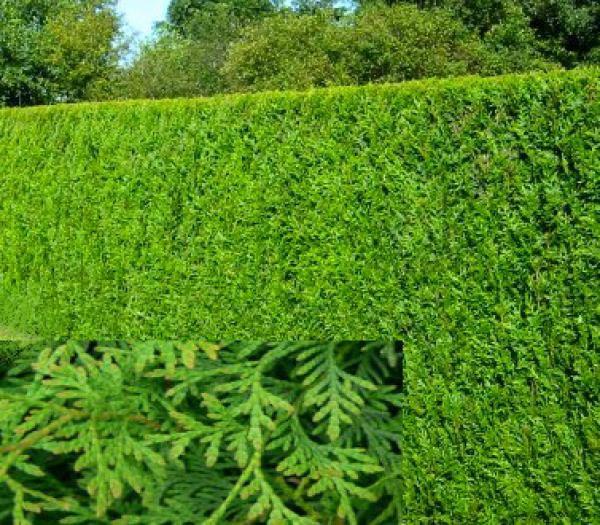 Thuya Plicata Atrovirens : Taille 60/80 cm - Lot de 25 pieds