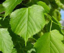 Tilleul à petites feuilles : Lot de 10 pieds - Taille 60/90 cm - Racines nues